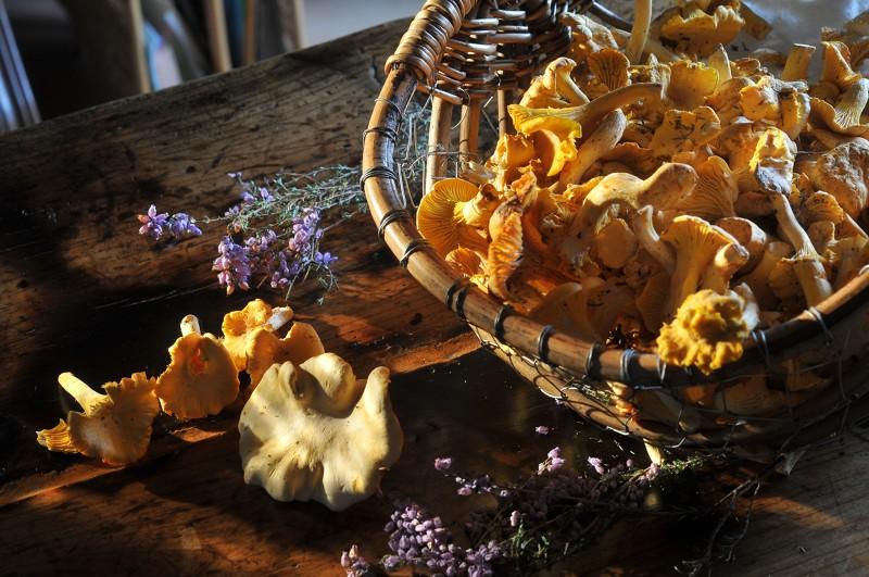 Ceuillette de champignons en Creuse, Girolles, Cèpes