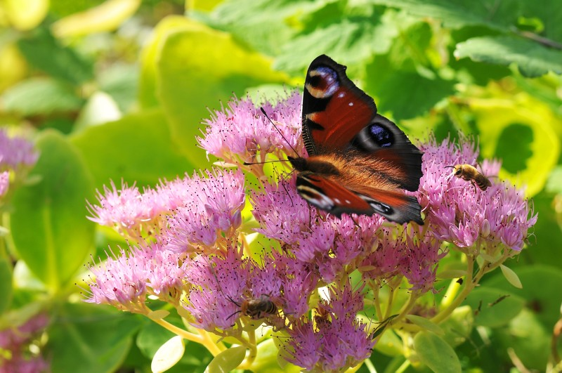 Papillon Paon en Creuse, Limousin, vacances nature