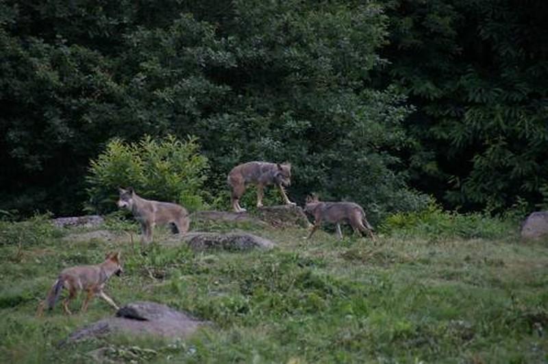 loups - histoire - curiosité